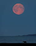 Moonrise over Shelikof Strait, a photo composite taken from Hallo Bay Bear Camp