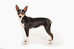 American Rat Terrier Dog, Standing, Studio, White Background