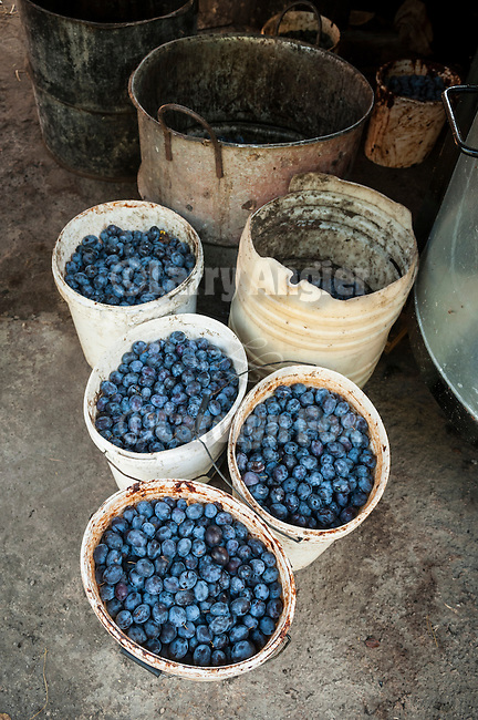 Slavko Dragutinovic's  buckets of plums ready to ferment and distill slivovitz, Morka Gora, Serbia.