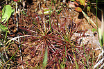The spoon leaf sundew is much more upright that other sundews that tend to rosette flat on the ground.  This sundew is more spherical, however, it still traps insects with the sticky fluid and absorbs nutrients from the decomposing bodies.