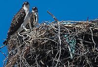 pair of fishing eagles in a nest Vista in the community of Punta Chueca, Sonora, Mexico. bird. birds. (Photo:Luis Gutierrez)<br /> par de aguilas pescadoras en un nido Vista en la comunidad de Punta Chueca, Sonora, Mexico. ave. aves,<br /> (Photo:Luis Gutierrez)