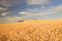 Abandoned historic house in wheat field. The Palouse. Washington