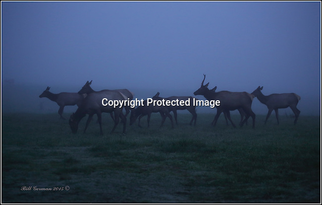 Rocky mountain elk in the fog. North Bend, Wa.