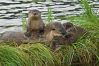 Northern River Otter (Lontra canadensis) mother with pups..