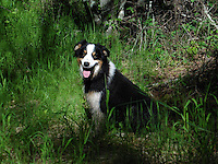 Images of Australian  Shepherd, Molly Montana, enjoying life at her Montana ranch. Life is good in Montana