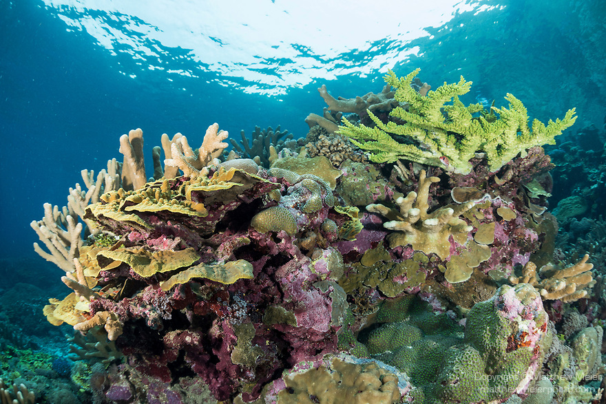Marovo Lagoon, Solomon Islands; hard and soft corals in a shallow coral garden in early morning light, with snell's window overhead
