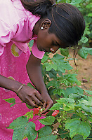 INDIA Andhra Pradesh, children work in cotton field of seed producer and cross male and female cotton plant for production of cotton Hybrid seeds by artificial pollination / INDIEN, Kinder arbeiten in einem Baumwollfeld und kreuzen Baumwollsaat durch kuenstliche Bestaeubung von weiblicher und maennlicher Pflanze fuer einen Saatgutbetrieb