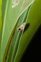 Probably a Pygmy Robber Frog - Pristimantis ridens-  Siquirres, Costa Rica.