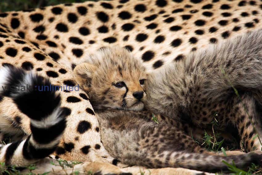 Cheetah cub aged about 1 month (Acinonyx jubatus) resting against mother, Maasai Mara National Reserve, Kenya.