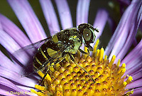 1D03-010z  Flower Fly - (Hover Fly) - adult