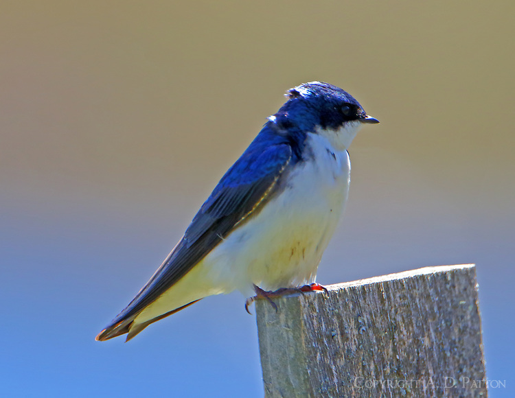 Adult male tree swallow
