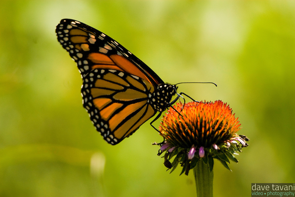 A monarch butterfly perches on an echinacea cone flower at the Pocono Environmental Education Center in the Delaware Water Gap National Recreation Area, July 15, 2008.