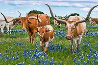 The longhorn cattle are a symbol of the west and the bluebonnets the state flower so what could be better.  We capture this image with this family of Texas Longhorns and her calf plus friend who stopped to pose for this picture in the bluebonnets. The mother is on the right and when we came the first time she took her calf as far away as possible from us.  The second visit I guess did it.  We loved all the different version of horns and this calf with his little horns were just too adorable in this field of bluebonnets.