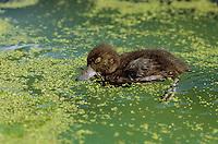 Reiherente, Küken, Reiher-Ente, Aythya fuligula, tufted duck