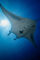 reef manta ray, Manta alfredi, Malediven, Maldives Islands