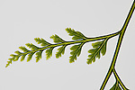 Different fern leaves found in the virgin forests of Kolombangara Island.
