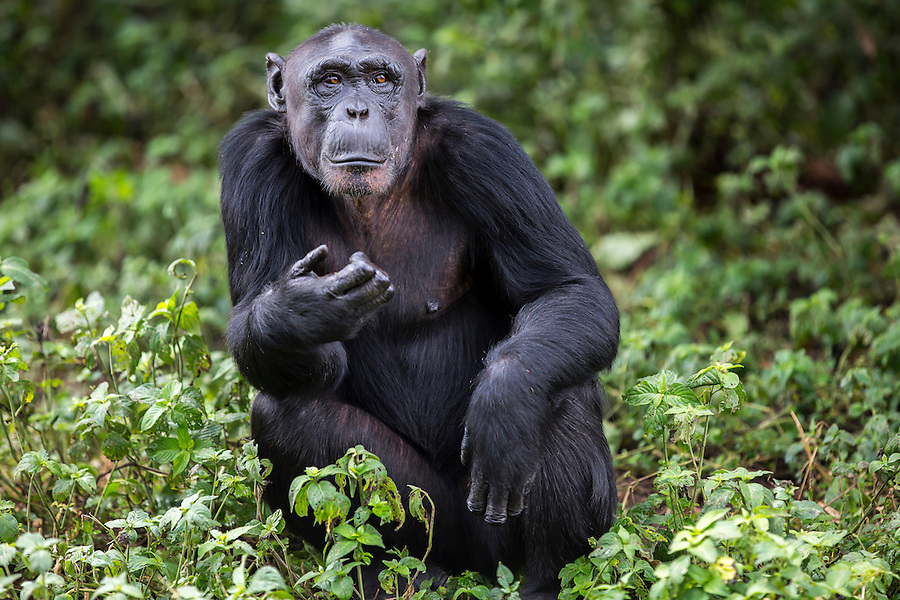 Female chimp, Ndyakira, is photographed at the Ngamba Island Chimpanzee Sanctuary in Lake Victoria, Uganda. Ndyakira, who has been on Ngamba Island since 2002, has a bald forehead and little hair around her face. Ndyakira means&rsquo; I will survive&rsquo; in Rutoro. She was named after a very famous environmental journalist in Uganda who helped in uncovering the story of the four chimps that traveled to Russia and eventually to Uganda (some of whom are now at Ngamba). Ndyakira was confiscated from dealers in Kampala. After being informed that someone was trying to sell an infant chimp, CSWCT with the assistance of the Wildlife Authority, arranged a sting operation and successfully rescued Ndyakira.<br /> On arrival Ndyakira was underweight, had a very poor appetite, dull hair all symptoms of poor nutrition. She was both psychologically and physically unhealthy. She happily integrated into the group and loves being in the trees while in the forest. She has an average hierarchy especially in her age group.  03/15 Julia Cumes/IFAW