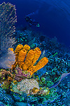 8 June 2015: A Yellow Tube Sponge (Aplysina insularis) grows at Ocean Point Reef, on the North Shore of Grand Cayman Island. Located in the British West Indies in the Caribbean, the Cayman Islands are renowned for excellent scuba diving, snorkeling, beaches and banking.  Mandatory Credit: Ed Wolfstein Photo *** RAW (NEF) Image File Available ***