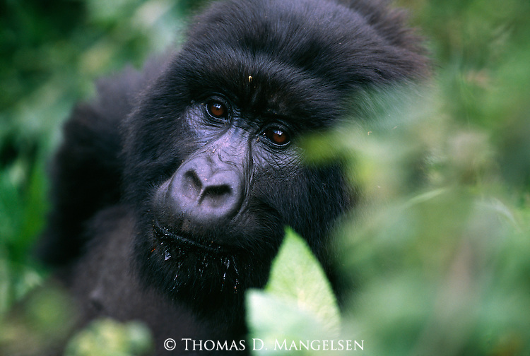 A portrait of a gorilla in the Virunga Mountains in Volcanoes National Park, Rwanda.