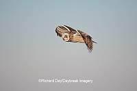 01113-009.14 Short-eared Owl (Asio flammeus) in flight at Prairie Ridge State Natural Area, Marion Co., IL