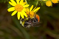 Red-tailed Bumblebee, Bombus lapidarius - male on Ragwort.