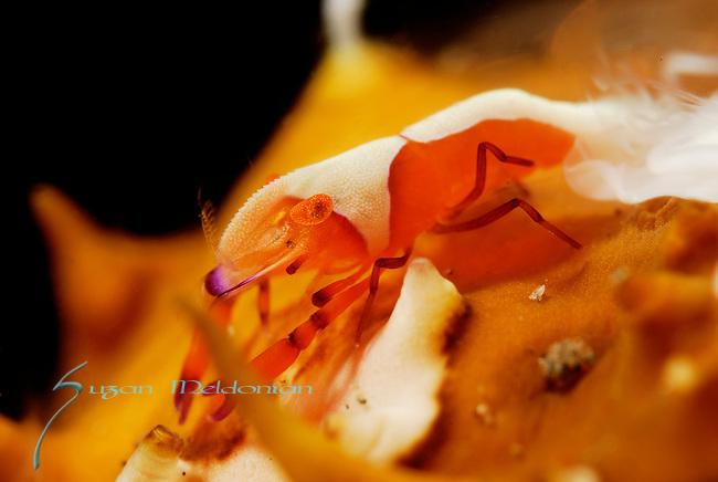 Emperor Shrimp on Spawning Sea cucumber, Periclemenes imperator,Lembeh Straits, Sulawesi Sea, Indonesia, Amazing Underwater Photography