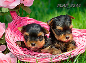Marek, ANIMALS, REALISTISCHE TIERE, ANIMALES REALISTICOS, dogs, photos+++++,PLMP3244,#a#, EVERYDAY