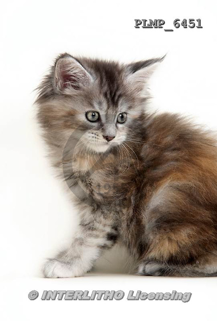 Marek, ANIMALS, REALISTISCHE TIERE, ANIMALES REALISTICOS, cats, photos+++++,PLMP6451,#a#