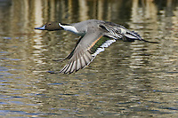 Northern Pintail flying over a golden pond