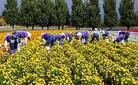 Furano flower pickers