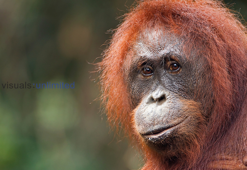 Female Bornean Orangutan, Linda, (Pongo pygmaeus wurmbii), Pondok Tanggui, Tanjung Puting National Park, Central Kalimantan, Borneo, Indonesia. Rehabilitated and released (or descended from) between 1971 and 1995. Portrait taken June 2010.
