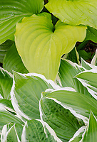 Different colored Hosta contarst against each other in a suburban garden in northern Illinois