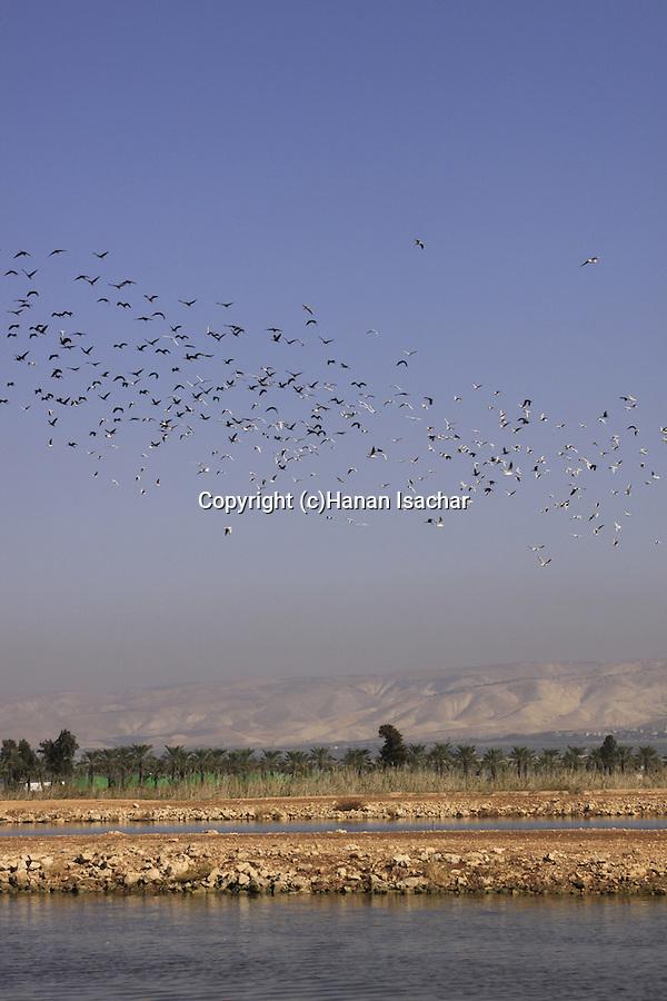 Israel, Beth Shean Valley, birds over the fish ponds in Kibbutz Tirat Zvi