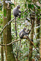 Two Thomas Leaf Monkeys (Presbytis thomasi) sit on a branch in Gunung Leuser National Park