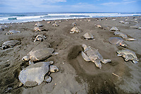 nesting female olive ridley sea turtles, Lepidochelys olivacea, crowd beach during arribada ( mass nesting ) Playa Ostional, Costa Rica, Pacific Ocean