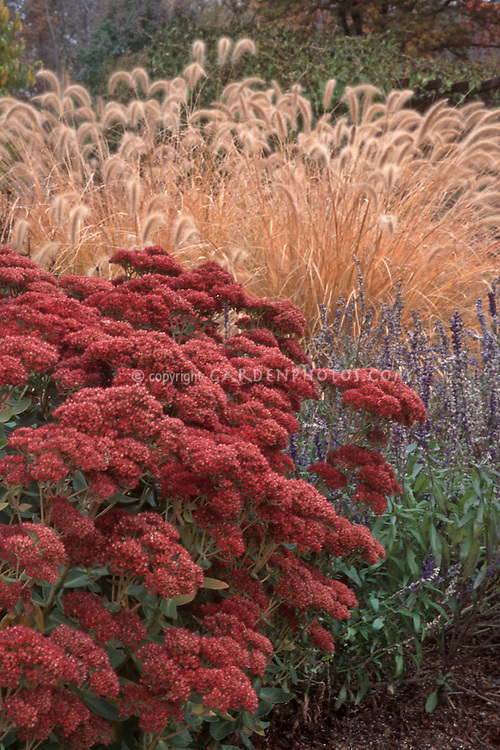 Sedum, ornamental grass Pennisetum alopecuroides & Salvia in autumn color with