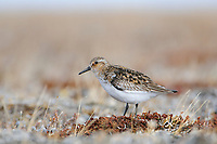 Adult male Sanderling (Calidris alba) in breeding plumage. Bathurst Island, Nunavut, Canada. June.