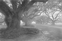 Early morning mist at Oak Alley Plantation in black and white looking out over the 300 year old live oak trees. The Oak Alley Plantation is located near Vacherie St. James Parish, Louisiana
