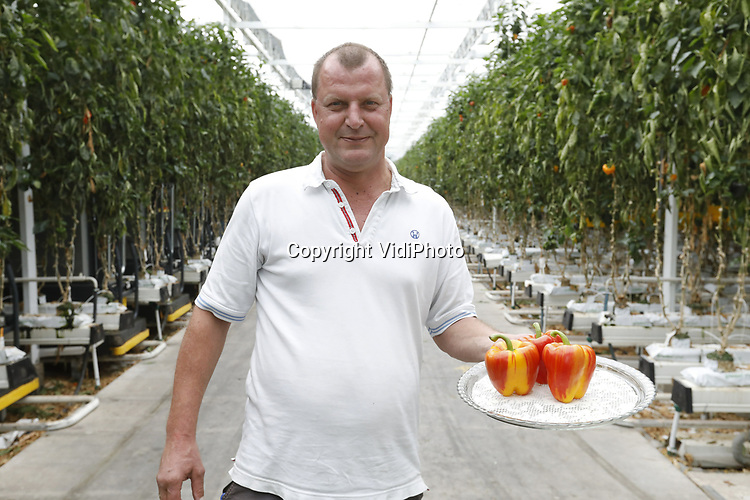 Foto: VidiPhoto<br /> <br /> HARMELEN &ndash; Zien is kopen. De welgevormde Enjoya is een lust voor het oog. En dat oog wil ook wat. Wat smaak betreft zal alleen een kenner de tweekleurige paprika kunnen onderscheiden van zijn soortgenoten, maar de meerwaarde van de oogstrelende groente is al snel duidelijk. Operational manager Henk van Leeuwen is dan ook razend enthousiast over de Enjoya paprika. De vestiging onder de naam Nature&rsquo;s Alliance in het Utrechtse Harmelen is de enige locatie in Nederland waar de Enjoya geteeld wordt. De meerkleurige paprika was een &lsquo;toevalstreffer&rsquo;, een mutatie tussen de rode paprika&rsquo;s, maar de potentie er van werd al snel duidelijk. Ondanks dat de Enjoya net op de markt is, gaat het energierijke product inmiddels de wereld over en wordt het aanbod langzaam uitgerold om zo gelijke tred te houden met de vraag. Bij de doorontwikkeling heeft de kwaliteit prioriteit. &ldquo;Een feestelijke paprika&rdquo;, omschrijft van Leeuwen de noviteit. &ldquo;Uniek in zijn soort, het trekt de aandacht en je begint vanzelf te glimlachen als je dit ziet.&rdquo;