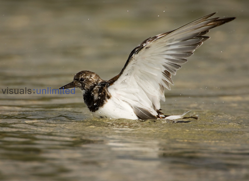 Ruddy Turnstone ,Arenaria interpres, in water.
