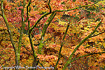 Fall foliage, University of Washington arboretum, Seattle