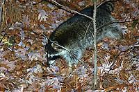 Raccoon in woods, Saline County, Arkansas