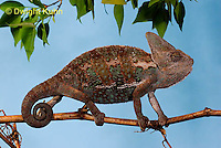CH39-531z  Male Veiled Chameleon in display colors, Chamaeleo calyptratus