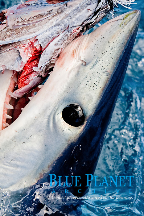 mako shark, Isurus oxyrinchus, feeding on bait, note eye detail and ampullae of lorenzini, Cape Point, South Africa