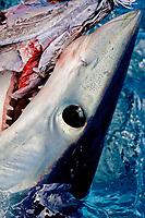 mako shark, Isurus oxyrinchus, feeding on bait, note eye detail and ampullae of lorenzini, Cape Point, South Africa