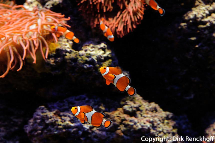 Echter Clownfisch (Amphiprion percula)  im Tropen-Aquarium (Troparium) im Tierpark Hagenbeck, Hamburg -Stellingen, Deutschland