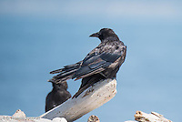 A young American Crow in molt. The black feathers of an adult are growing on its wings but it still has the juvenal feathers on its back.