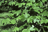 Tulip Tree Liriodendron tulipifera (Magnoliaceae) HEIGHT to 45m. Impressive deciduous tree. BARK Pale grey. BRANCHES Often twisted. LEAVES Strikingly shaped, to 20cm long and 4-lobed with a terminal notch; fresh green through summer, turning bright gold in autumn. Leaves smooth and hairless, on a slender 5–10cm-long petiole. REPRODUCTIVE PARTS Flowers are superficially tulip-like. Cup-shaped at first and inconspicuous as perianth segments are greenish and blend in with leaves. Later, flowers open more fully, revealing rings of yellowish stamens surrounding paler ovaries. Often produced high up in middle of dense foliage, and not until the tree is at least 25 years old and quite sizeable. Conical fruits, to 8.5cm long, are composed of numerous scale-like overlapping carpels. STATUS AND DISTRIBUTON Native of E USA. Introduced into Europe in the 17th century and commonly planted here in gardens and parks.