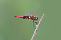 388550022 a wild male red saddlebags tramea onusta perches on a dead stick along a canal at black rock springs inyo county california