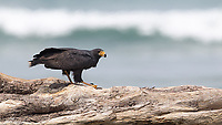 Black hawks are often see scavenging and hunting on the beaches of Corcovado.  This one caught a crab.